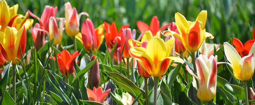 tulips bloom spring Holland The Netherlands flowers Keukenhof Flowerpark Flower garden GO Experience guided tours transfers