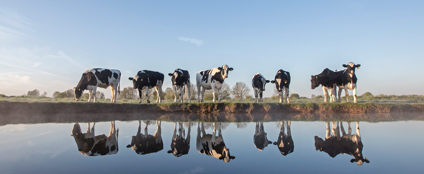 Dutch cows Holland The Netherlands visit touroperator DMC Benelux GO Experience